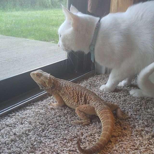 Бородатая ящерица и кот - лучшая пара месяца