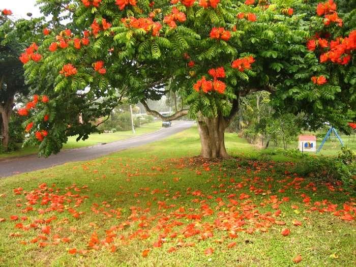 Африканское тюльпанное дерево